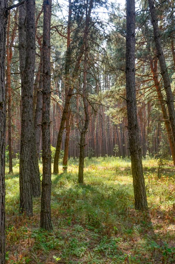 Zonnige dag in bosautumn pine forest royalty-vrije stock foto's