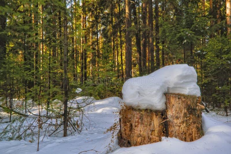 Zonnige dag in het sneeuw naald boslandschap van snow-covered de winter naaldbos royalty-vrije stock afbeelding