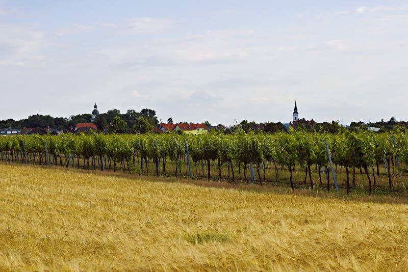 Zonnige dag in Oostenrijkse Wijngaard druif Nieuwe oogst royalty-vrije stock foto