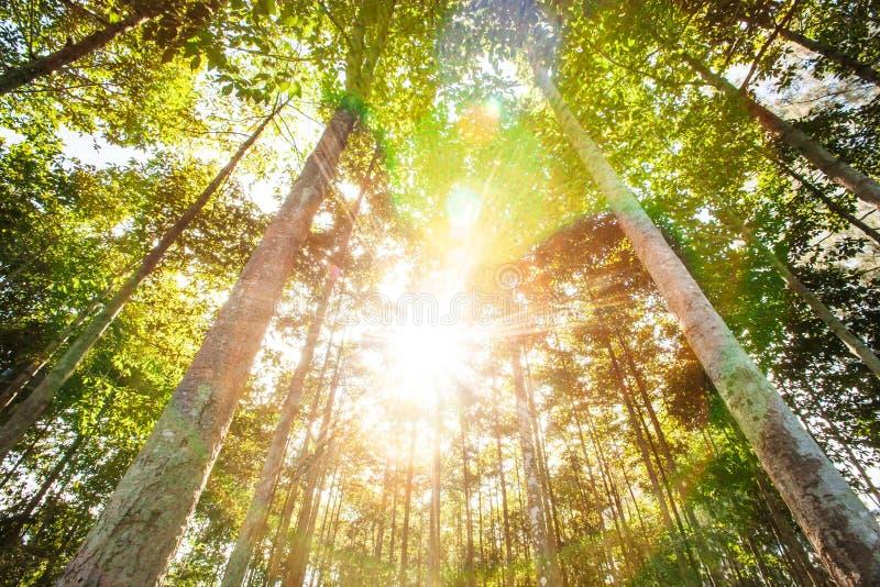 Zonnige ochtend in de tropische bosbouwaanplantingen in de zomer, heldere zonnestraalstraal die door de takken van bomen glanzen stock foto
