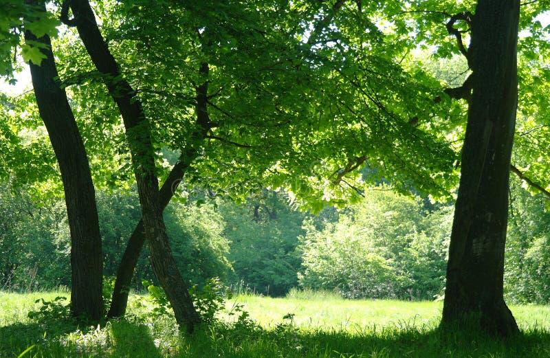 Zonnige ochtend in een bosopen plek royalty-vrije stock foto