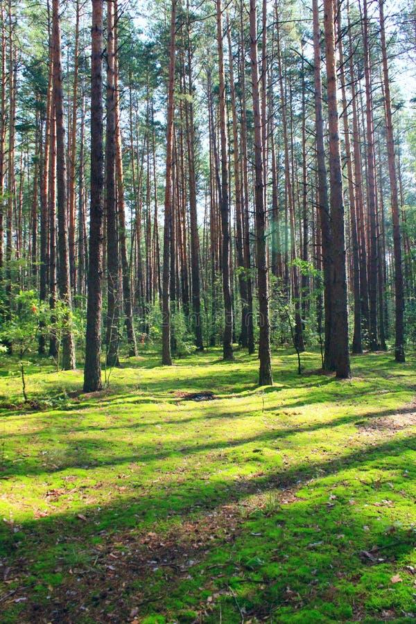 Zonnige stralen in de zomer bos Houten landschap royalty-vrije stock afbeeldingen