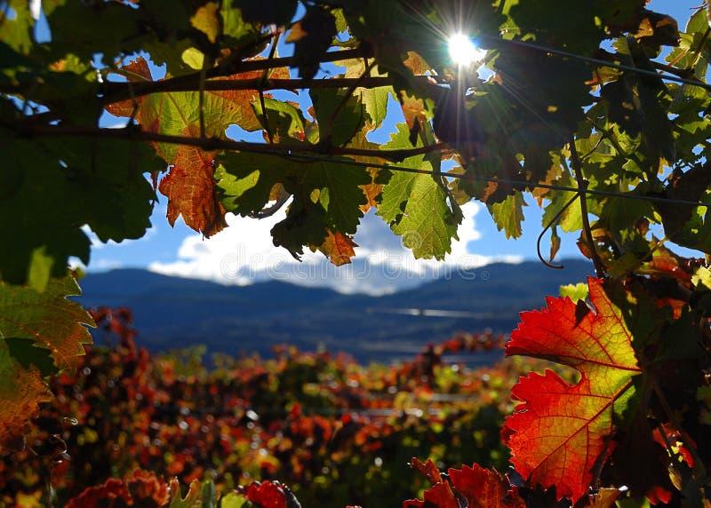 Zonnige wijngaard royalty-vrije stock afbeelding