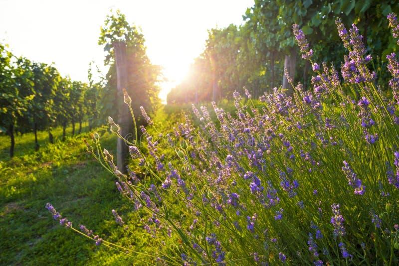 Zonnige wijngaard en lavendelbloemen stock foto