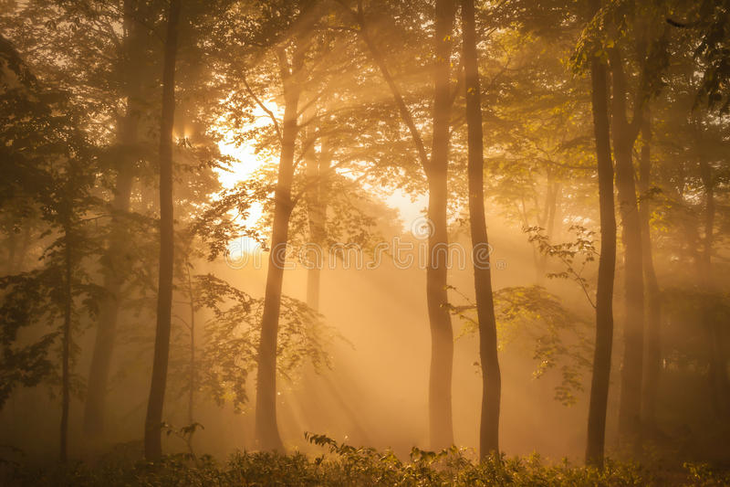Zonovergoten bos in de ochtend stock fotografie