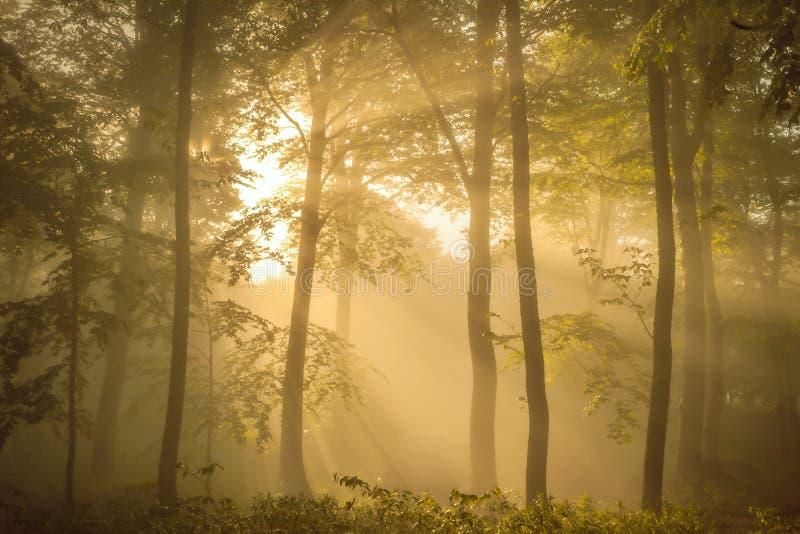 Zonovergoten bos in de ochtend royalty-vrije stock afbeeldingen