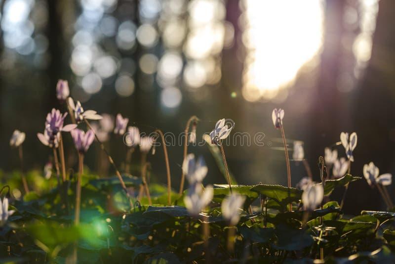 Zonovergoten cyclamens op bosachtergrond met spiderweb royalty-vrije stock foto