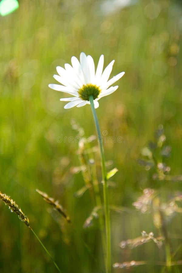 Zonovergoten Daisy In een Gebied stock fotografie