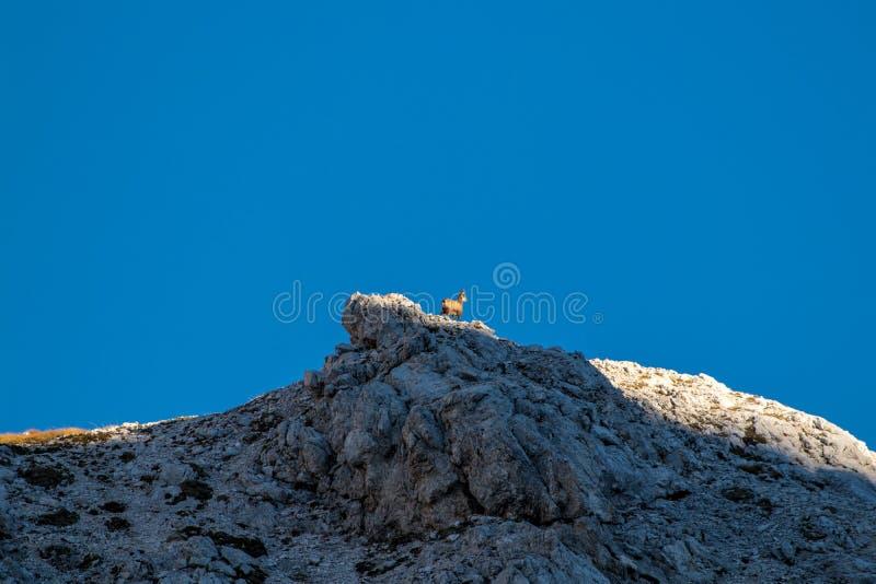 Zonovergoten gemzen bij de bovenkant van de berg royalty-vrije stock foto