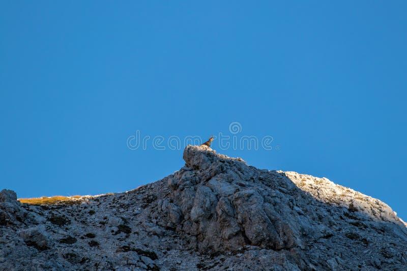 Zonovergoten gemzen bij de bovenkant van de berg die neer eruit zien royalty-vrije stock afbeelding