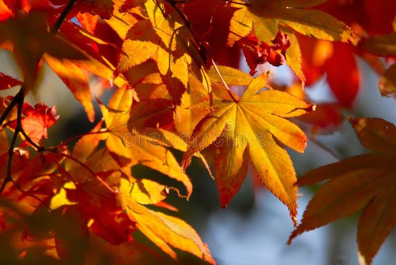 Zonovergoten gouden esdoornbladeren stock afbeeldingen