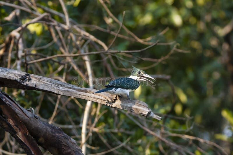 Zonovergoten Groene Ijsvogel bij Tak het Roepen stock afbeelding