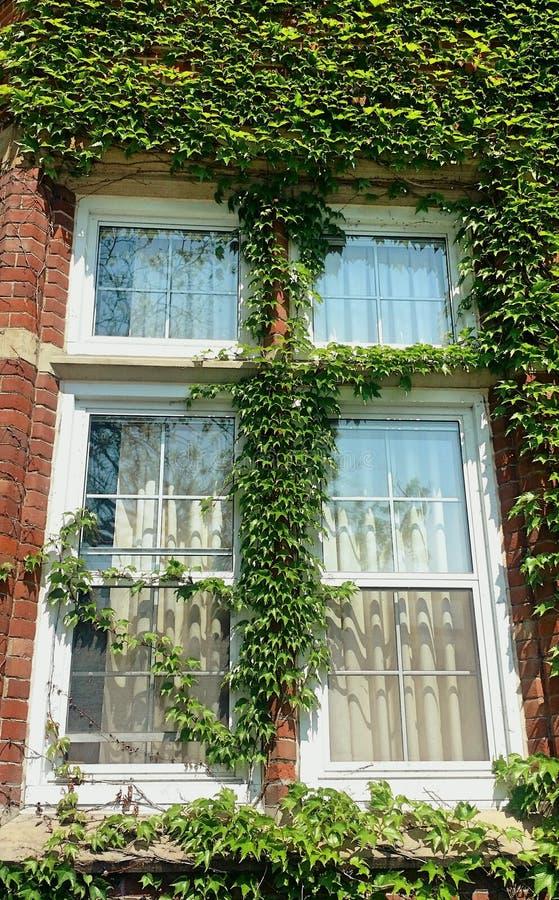 Zonovergoten venster van de oude rode die baksteenbouw door groene installatie wordt behandeld royalty-vrije stock afbeelding