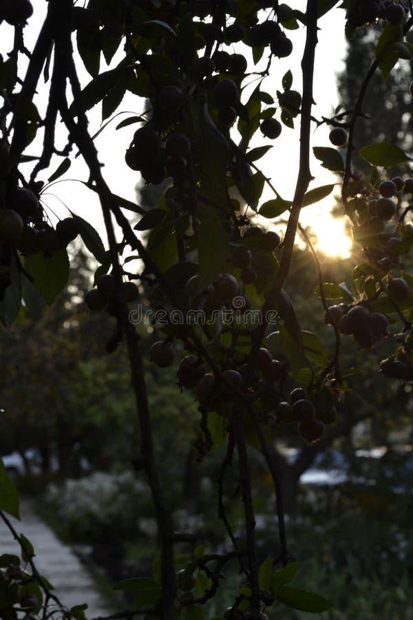 Zonsondergang achter Boom stock foto