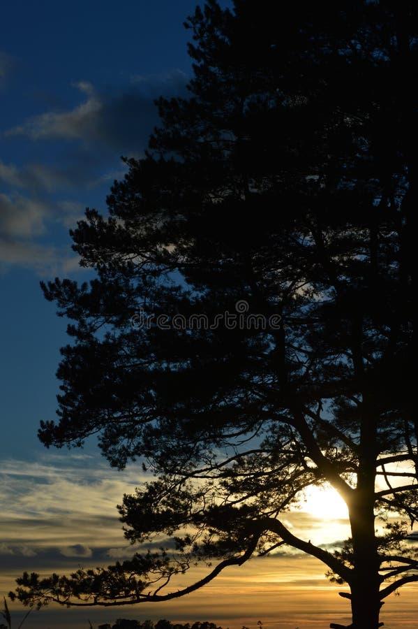 Zonsondergang achter een grote boom stock foto's