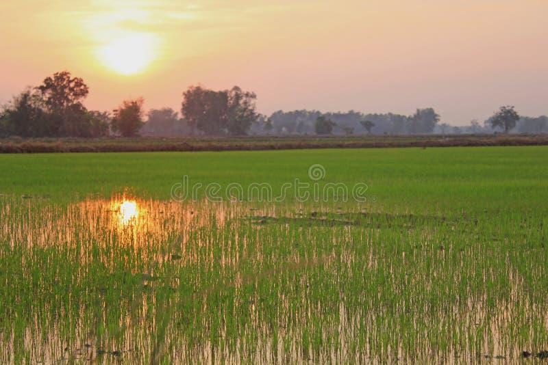 Zonsondergang bij de weelderige groene padievelden zachte nadruk stock foto