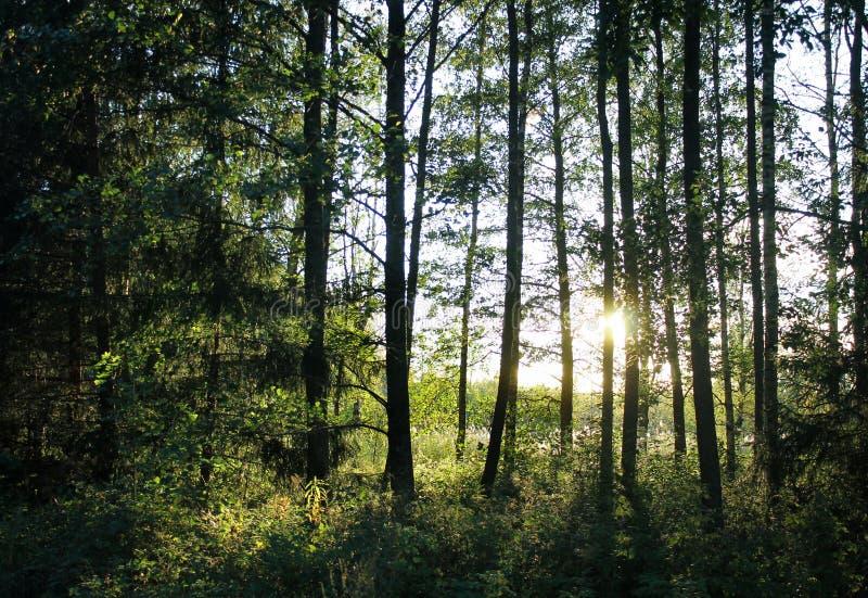 Zonsondergang bij het hout stock fotografie