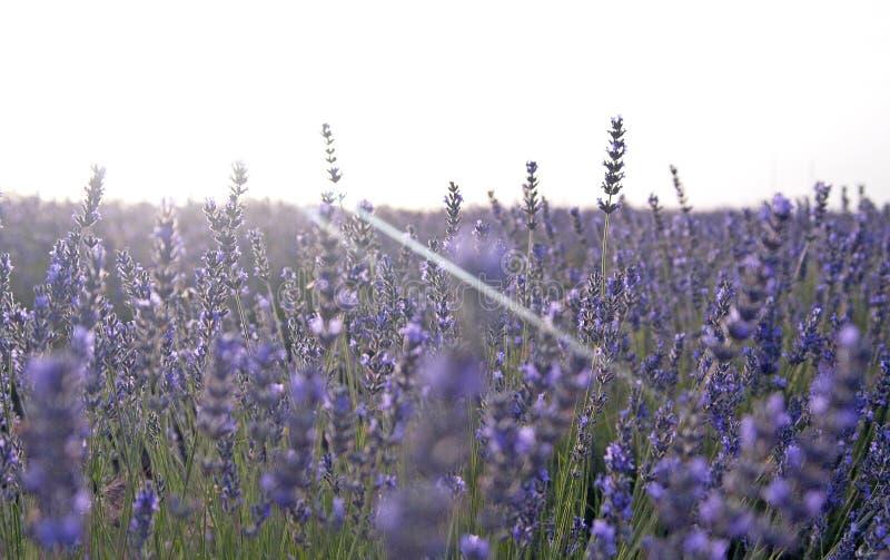 Zonsondergang bij lavendelgebieden in Spanje royalty-vrije stock foto's