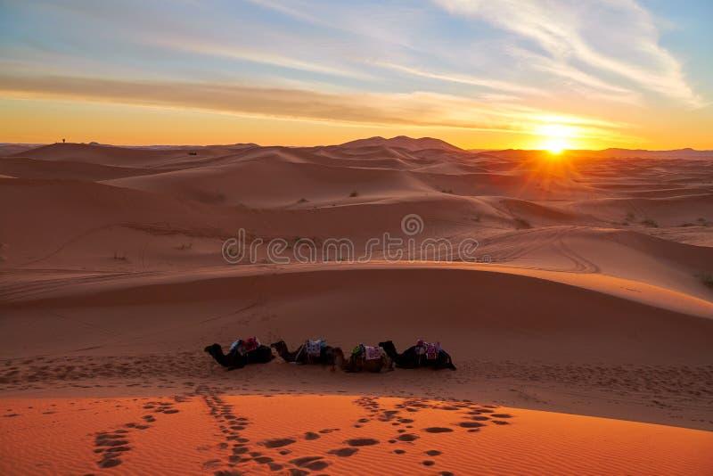 Zonsondergang in de woestijn met kamelen royalty-vrije stock afbeeldingen