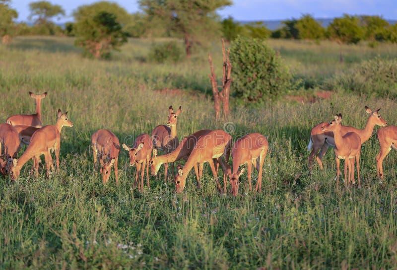 Zonsondergang die voor impala op een open gebied dineren royalty-vrije stock afbeelding