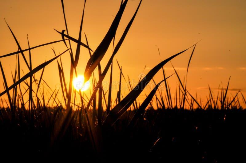 Zonsondergang door gras, stralen wordt gezien van zon die stock fotografie