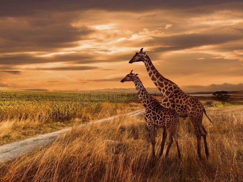 Zonsondergang en de Giraffen royalty-vrije stock foto's