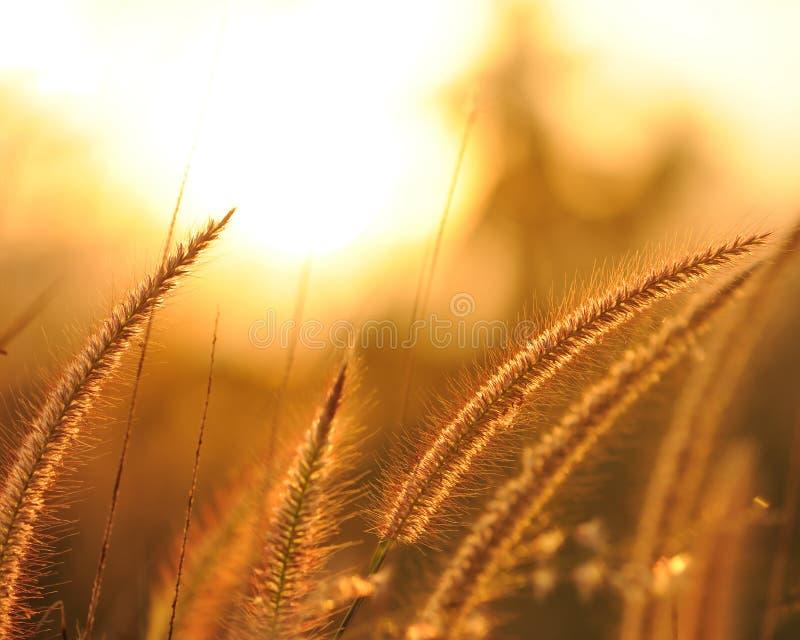 Zonsondergang en gras royalty-vrije stock foto