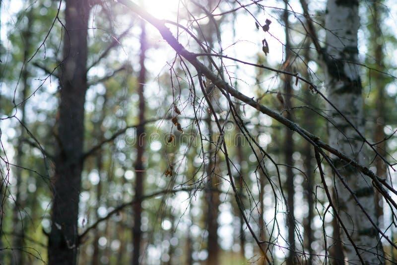 Zonsondergang in het bos stock fotografie