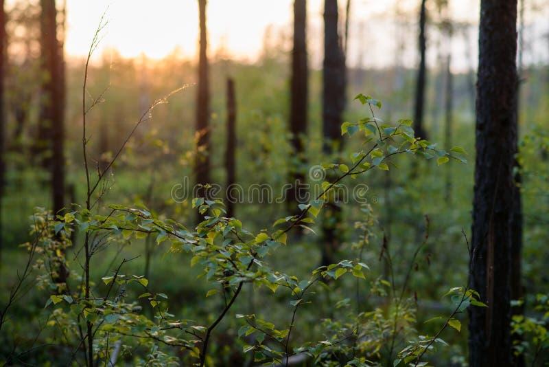 Zonsondergang in het bos stock afbeelding