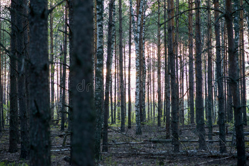 Zonsondergang in het bos stock foto's