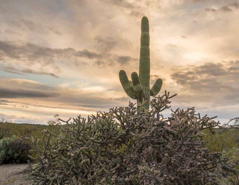Zonsondergang in het Nationale Park Tucson van Saguaro stock afbeeldingen