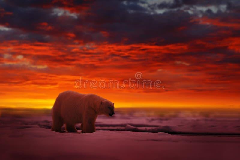 Zonsondergang in het Noordpoolgebied, met ijsbeer Draag op het afdrijvende ijs met sneeuw, met avond oranje zon, Svalbard, Noorwe stock foto