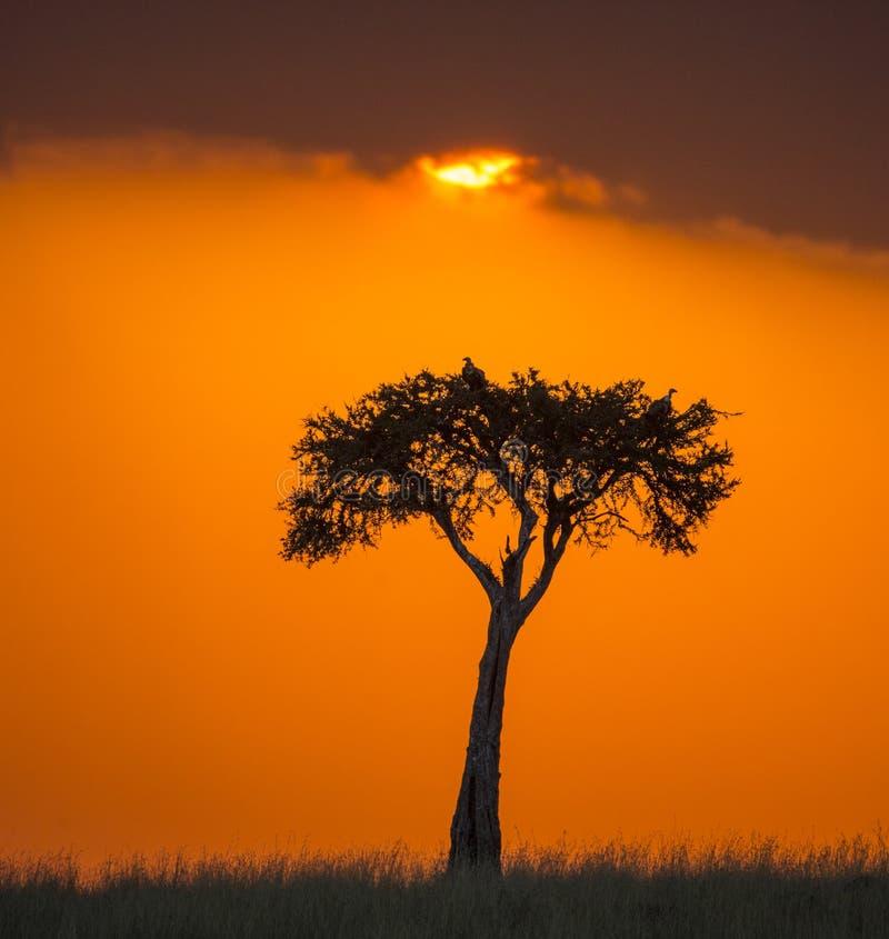 Zonsondergang in Maasai Mara National Park afrika kenia stock afbeeldingen