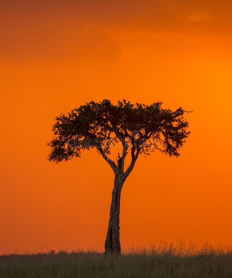 Zonsondergang in Maasai Mara National Park afrika kenia royalty-vrije stock afbeeldingen