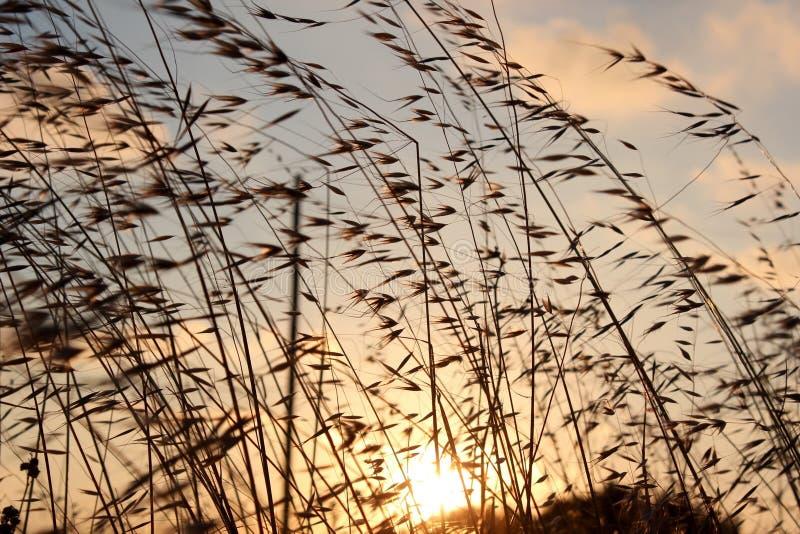 Zonsondergang met Onkruid royalty-vrije stock afbeeldingen