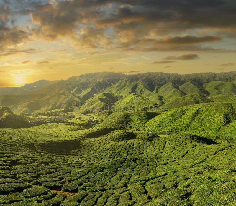Zonsondergang op de theeaanplanting in de hooglanden van Cameron, Maleisië royalty-vrije stock foto
