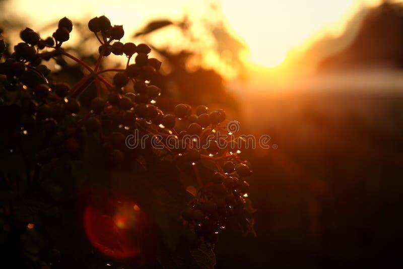 Zonsondergang op een de zomerdag op een bloemgebied royalty-vrije stock afbeelding