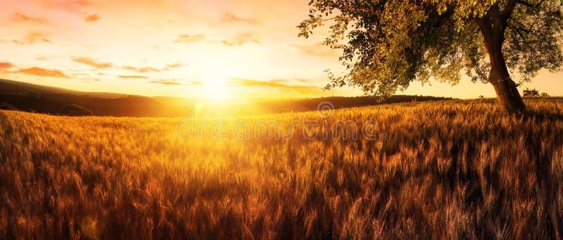 Zonsondergang op een gouden tarwegebied royalty-vrije stock afbeelding