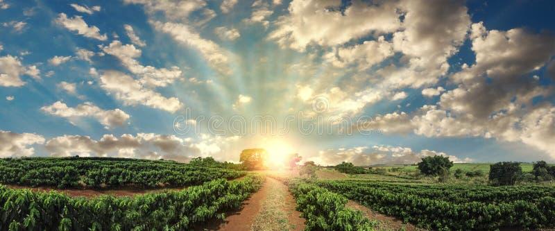 Zonsondergang op het landschap van de koffieaanplanting stock foto