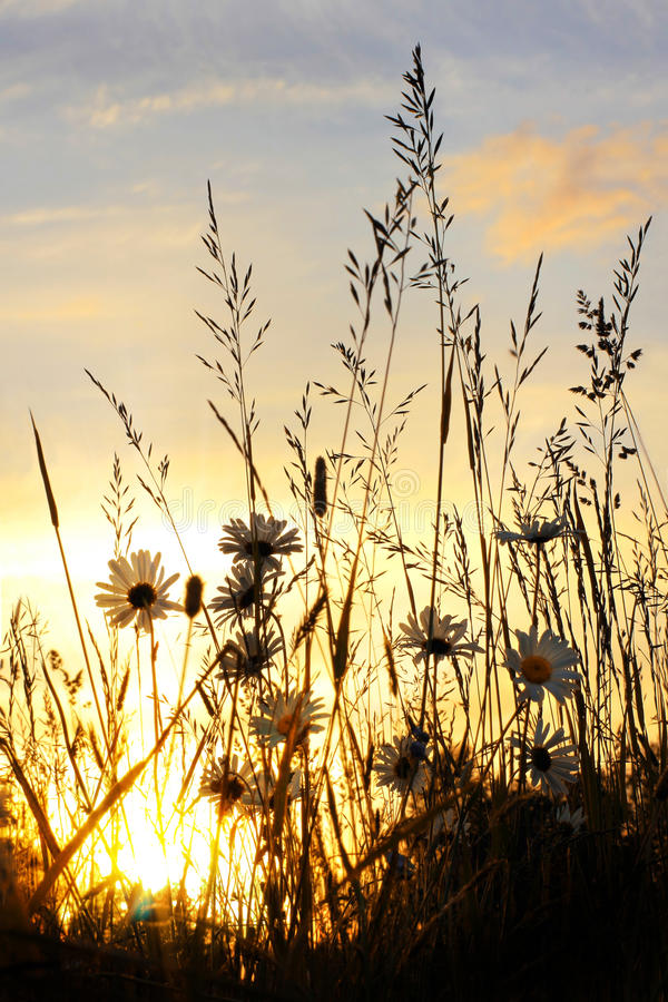 Zonsondergang op madeliefjegebied stock foto