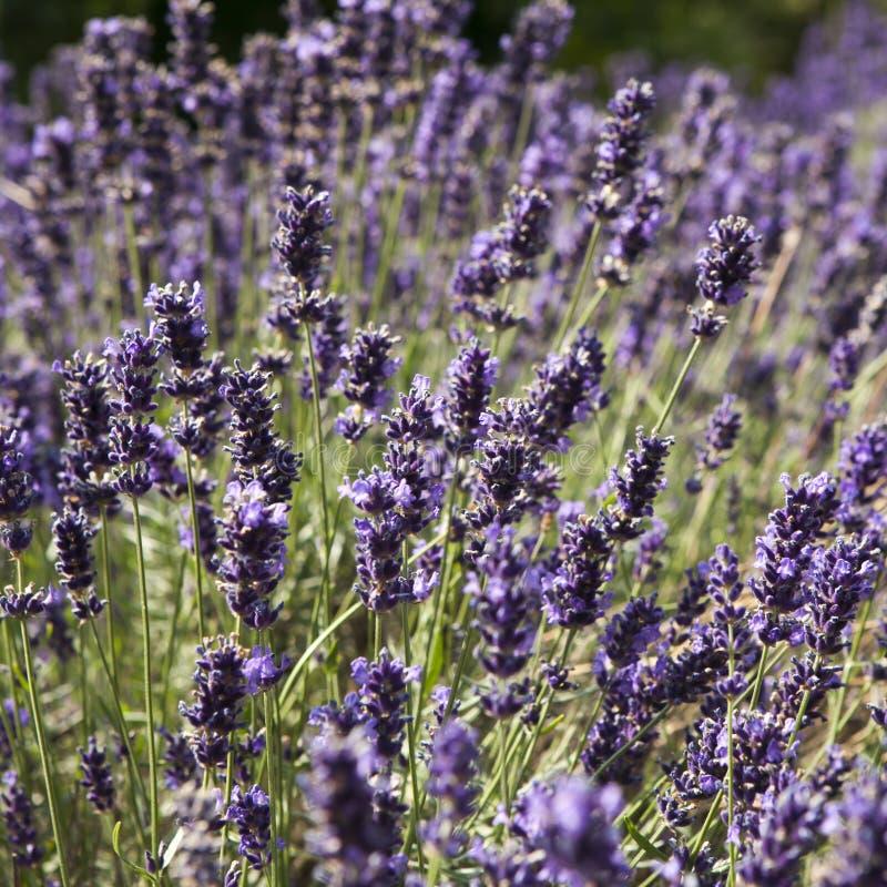 Zonsondergang over een gebied van de de zomer purper lavendel Bos van bemerkte bloemen op het lavandagebied van de Franse Provenc royalty-vrije stock foto's