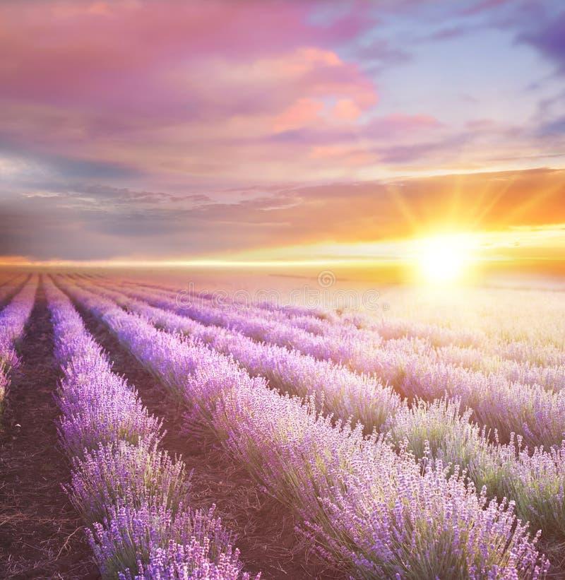 Zonsondergang over een violet lavendelgebied stock afbeelding