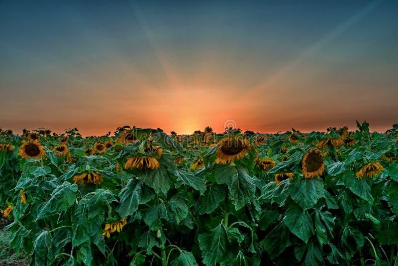 Zonsondergang over een Zonnebloemengebied royalty-vrije stock foto's