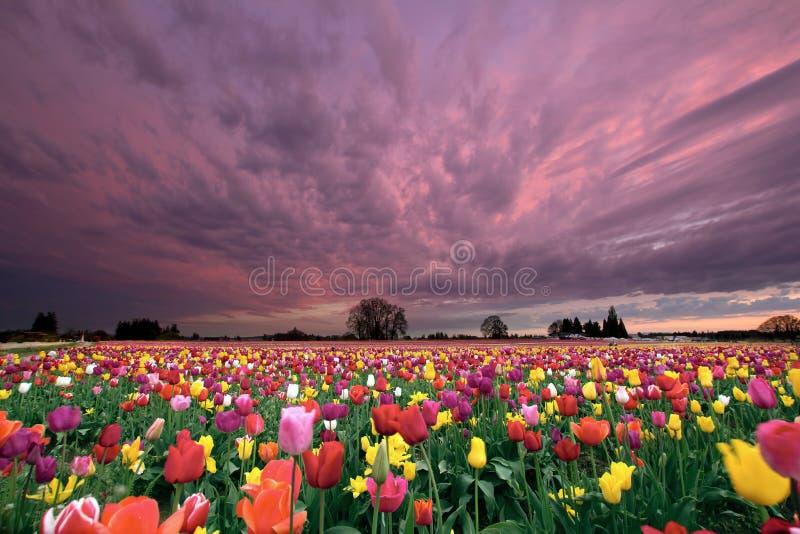 Zonsondergang over het Gebied van de Tulp royalty-vrije stock foto