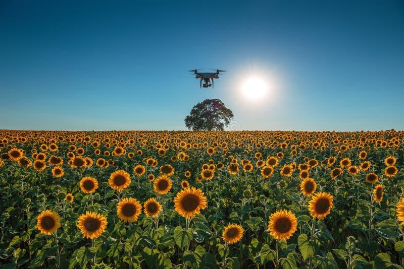 Zonsondergang over het gebied van zonnebloemen en vliegende hommel stock foto