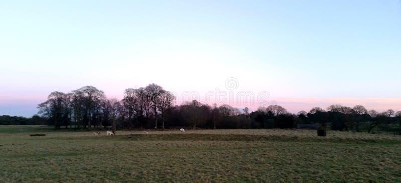 Zonsondergang over het Tatton-Park met kudde van herten op achtergrond - Tatton-het Park tuiniert stock foto