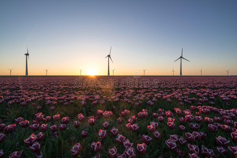 Zonsondergang over Nederlandse tulpengebieden met een achtergrond van moderne windmolens stock afbeelding