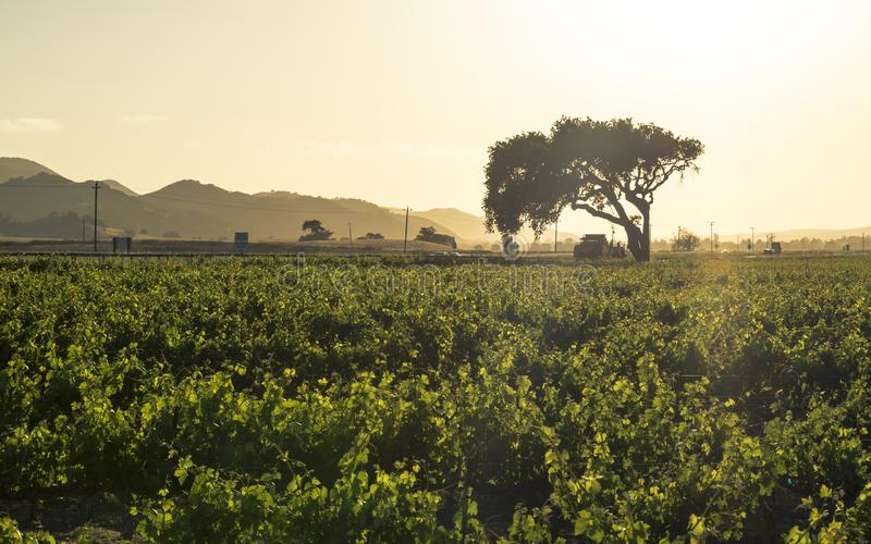 Zonsondergang over Rijen van weelderige wijngaarden op een helling, Napa-Vallei stock foto
