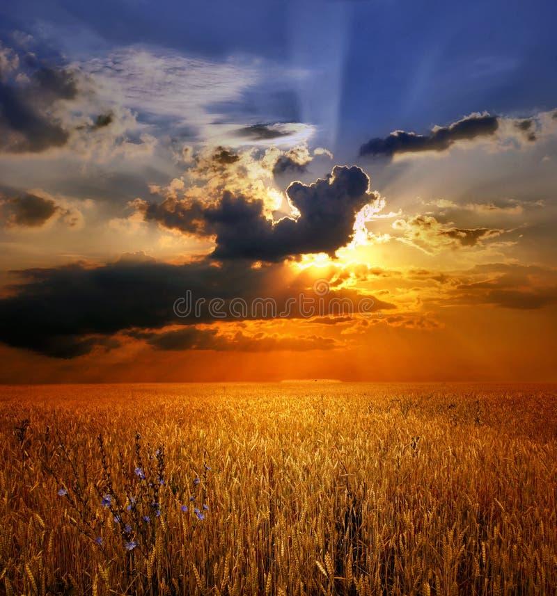 Zonsondergang over tarwegebied stock afbeelding