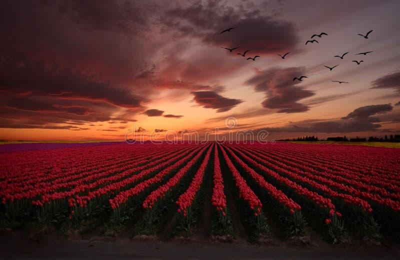 Zonsondergang over Tulip Fields Troep van vogels die over kleurrijke tulpen vliegen stock foto's